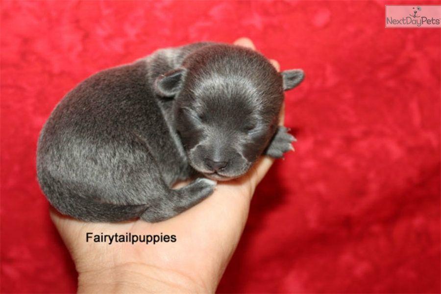 Chihuahua Puppy For Sale Near Mcallen Edinburg Texas 994a6b39 Ce01 Blue Chihuahua Chihuahua Puppies Chihuahua Puppies For Sale
