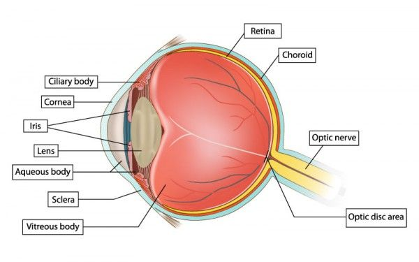Diagram of the eye to labelg 600375 sage human anatomy diagram of the eye to labelg 600375 ccuart Image collections