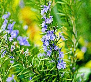 Tuscan Blue Rosemary 3 Tall Drought Tolerant Edible Herb Prune The