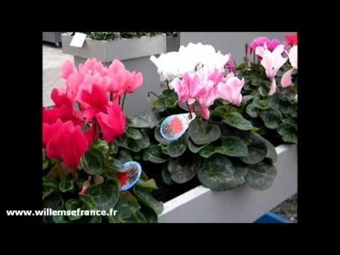 Www Willemsefrance Fr les #cyclamens de jardin de willemse sont rustiques : ils ne