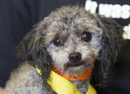 Petango Com Meet Casey A 8 Years 1 Month Poodle Toy Available
