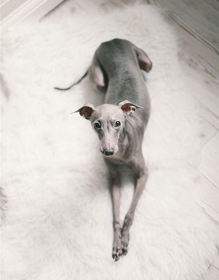 Windspielmama Italienisches Windspiel Windspiel Hund Windhund