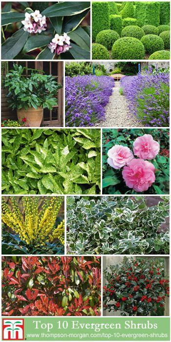 Top 10 Evergreen Shrubs Thompson Morgan Evergreen Shrubs Garden Shrubs Garden Shrubs Evergreen