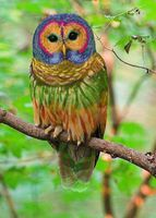 The Rainbow Owl is a rare species of owl found in hardwood forests in the western United States and parts of China. Long coveted for its colorful plumage, the Rainbow Owl was nearly hunted to extinction in the early 20th century. However, due to conservation efforts, recent years have seen...