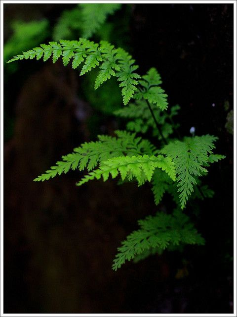 Because ferns do not produce flowers but rather by nearly invisible spores, they were thought to be mysterious in ancient times. Therefore the plants have long been associated with invisibility spells and sorcery. That's why I always associated these with fairies :)