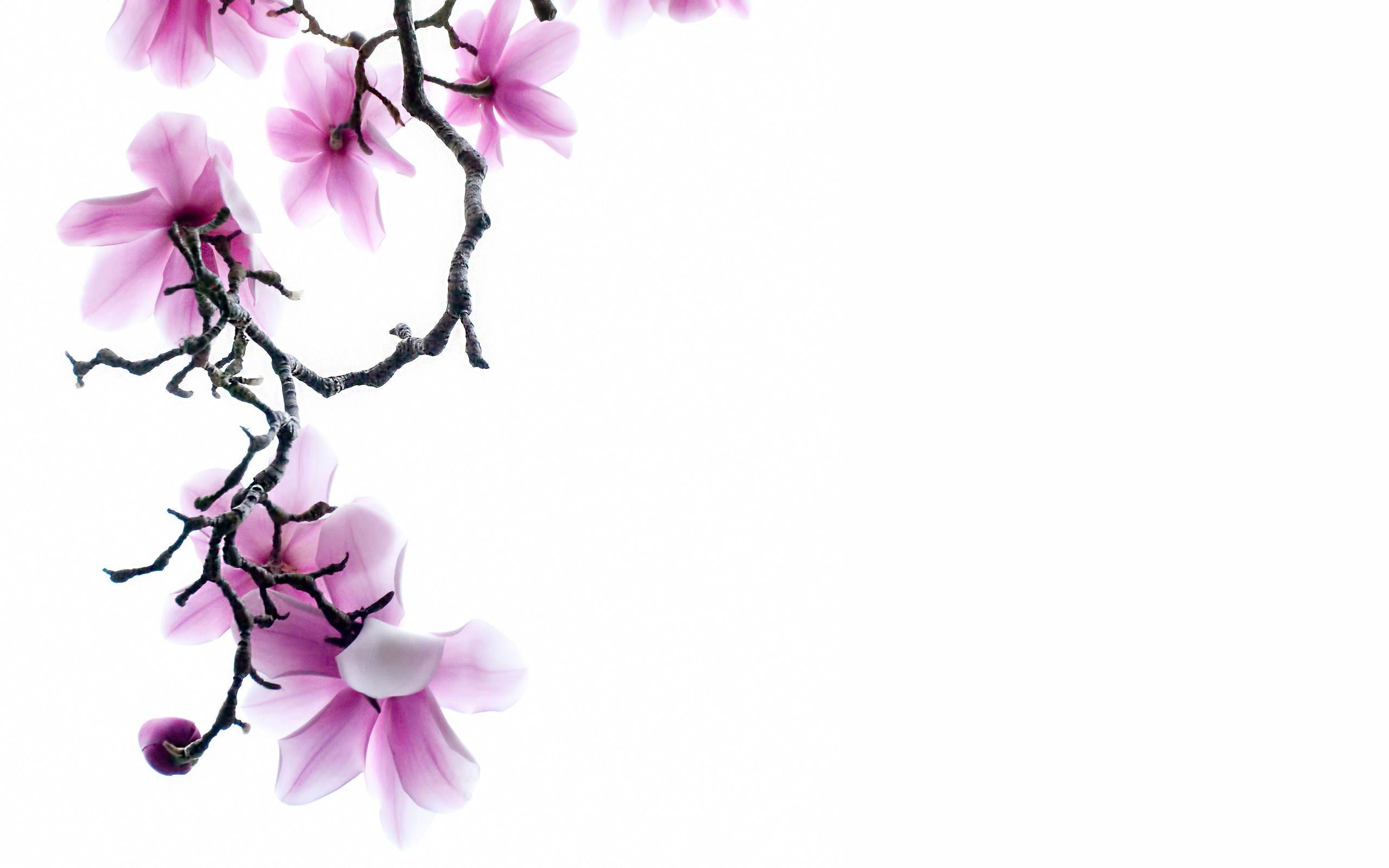 Branch of pink magnolia flowers on white background widescreen search results for white background flower wallpaper adorable wallpapers dhlflorist Image collections