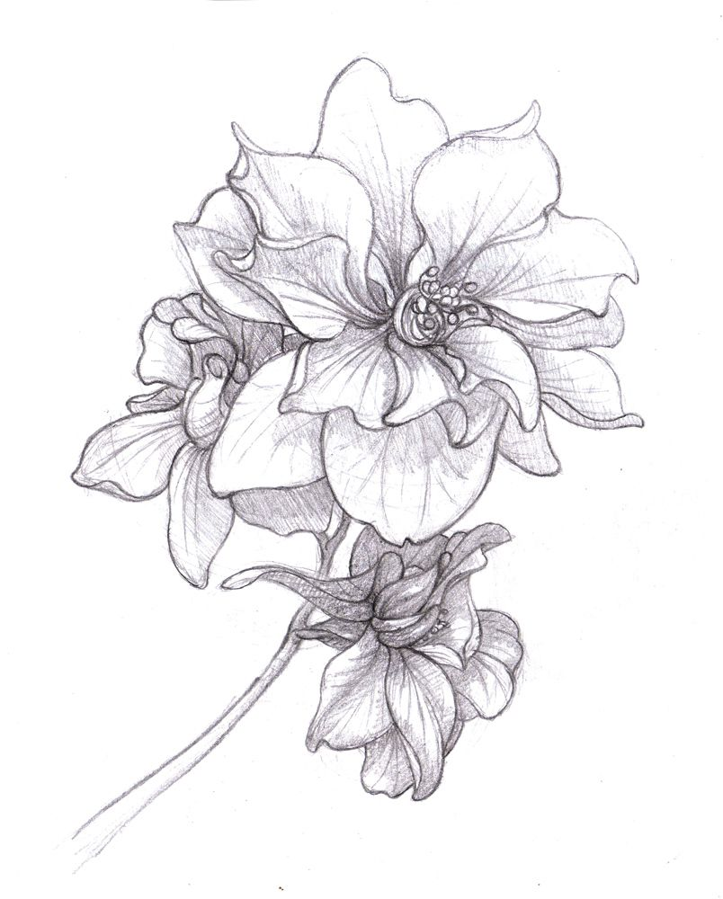 Line Drawing Violet : Larkspur drawing july birth flower google search inked