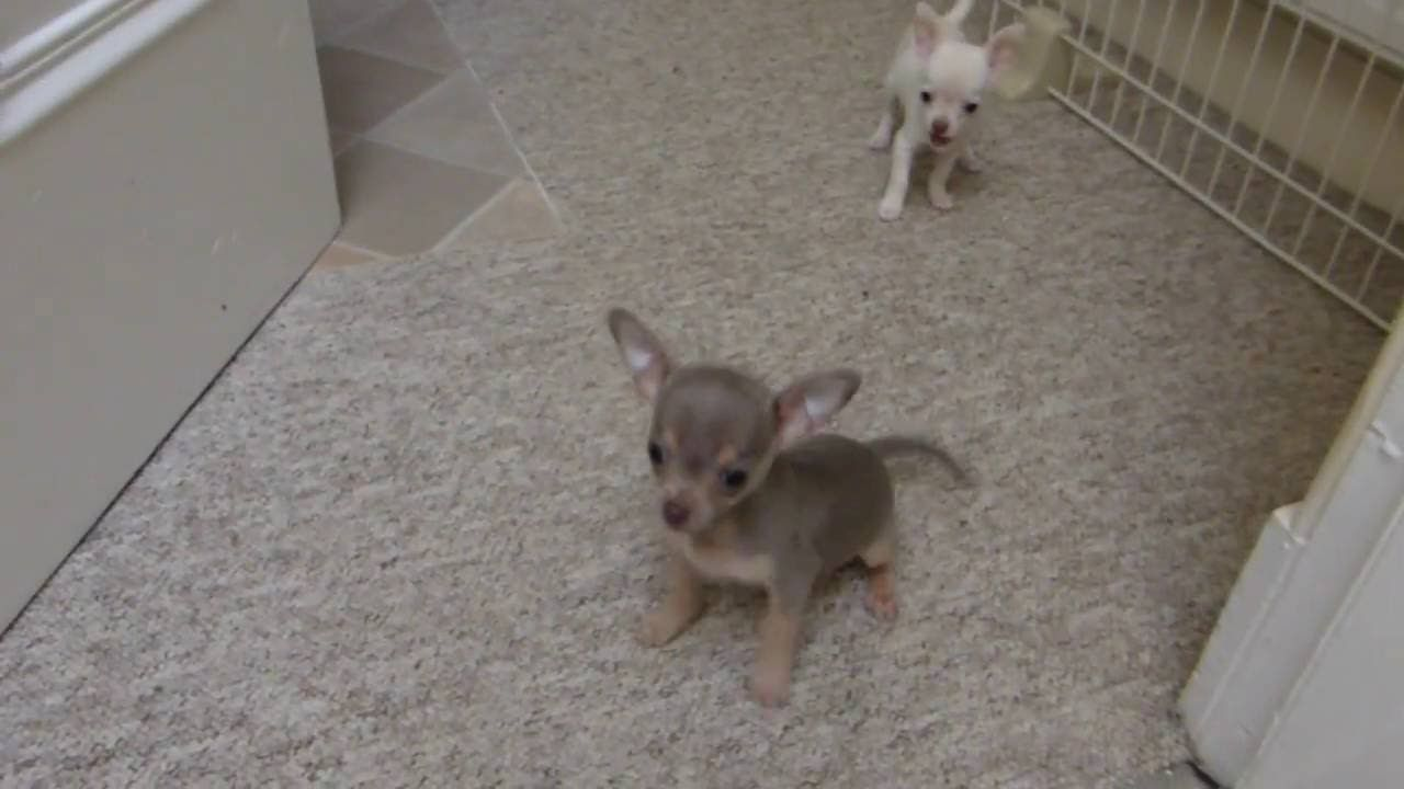Alfie And Lily Now 10 Weeks Old Teacup Puppies Chihuahua