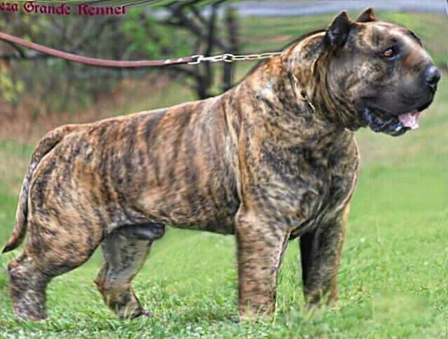 Dodatkowe Mollosso Presa Mayo | Animals | Dogs, Dog breeds, Big Dogs VE61