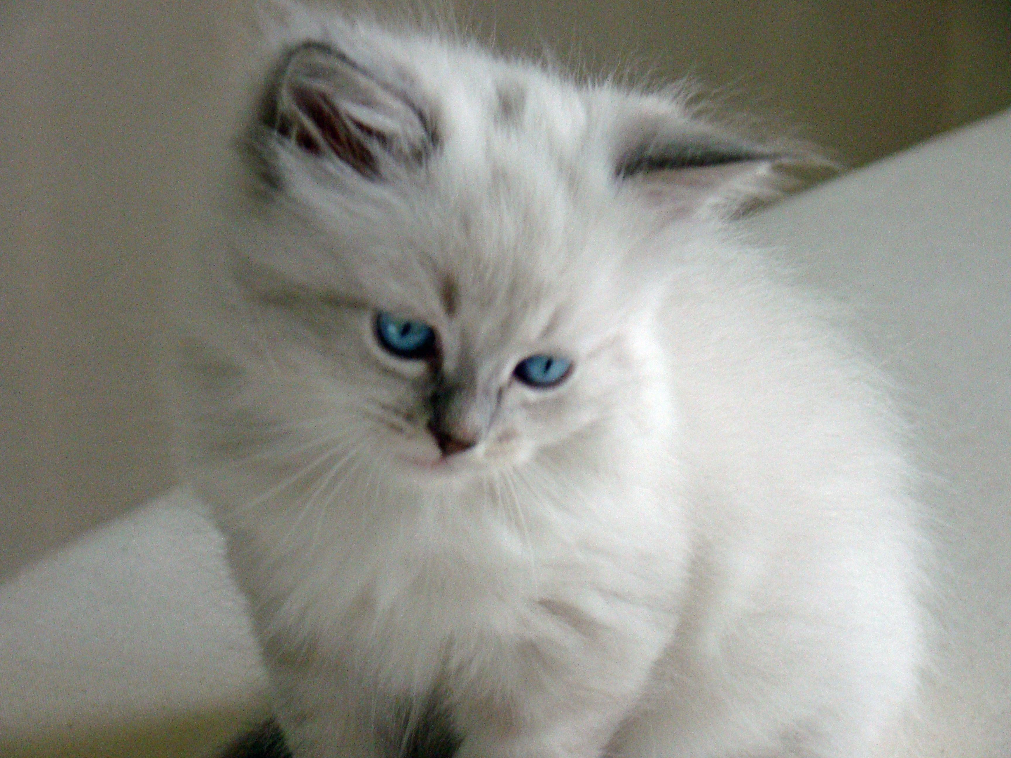 Siberian Kitten With Neva Masquerade Coloring Siberian Kittens Siberian Cat Kittens Cutest