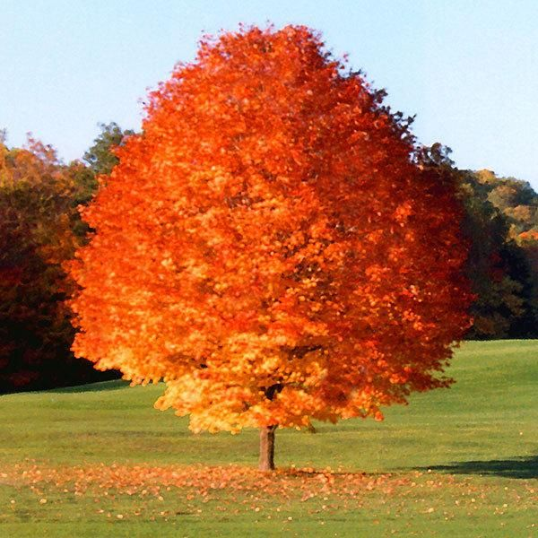 Top 30 Fastest Growing Trees For Your Home Fast Growing Trees Com Red Maple Tree Fast Growing Trees Flowering Trees