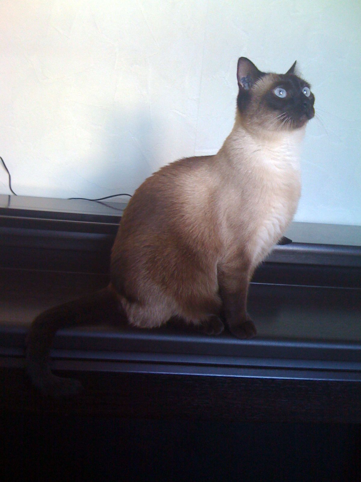 siamese cat. mISS sCARLETT | My Favorite Cat | Pinterest | Siamese ...