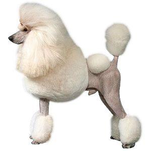 Poodle Grooming Dog Coat Styles Standard Poodle Grooming