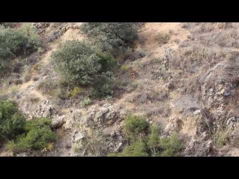 Hunting podenco orito - Columela y Gaza,, Podenco Orito Español,, - YouTube