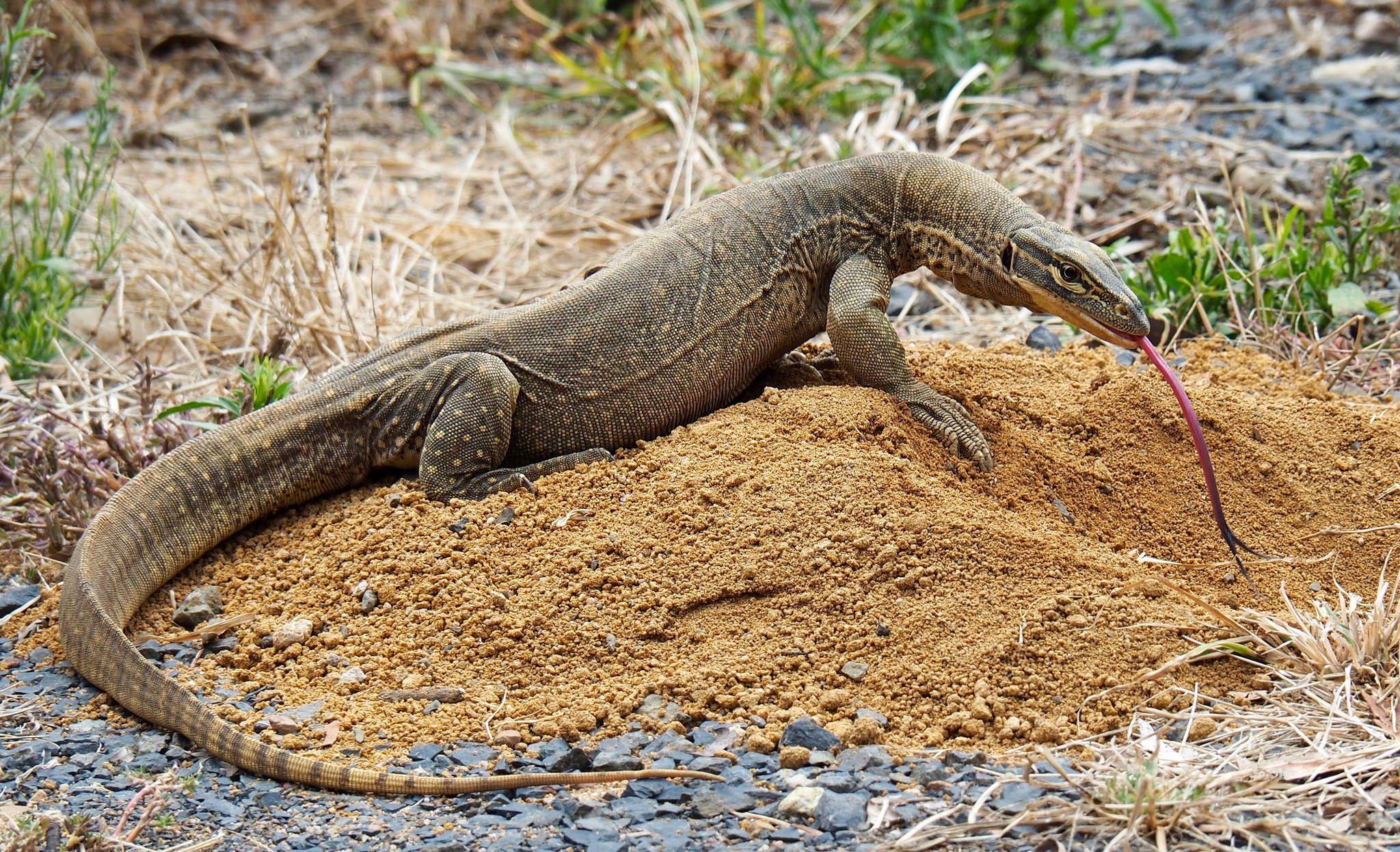 Goanna Australian animals, Animal photography, Lizard