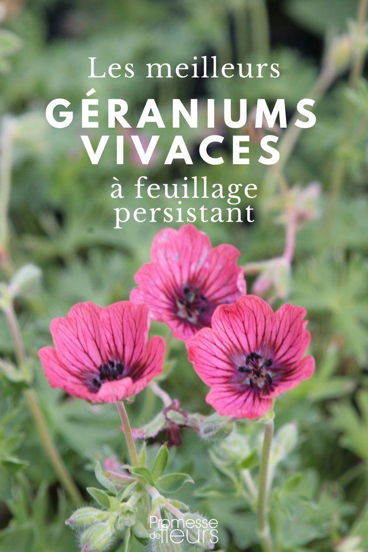 les meilleurs g raniums vivaces persistants jardin. Black Bedroom Furniture Sets. Home Design Ideas