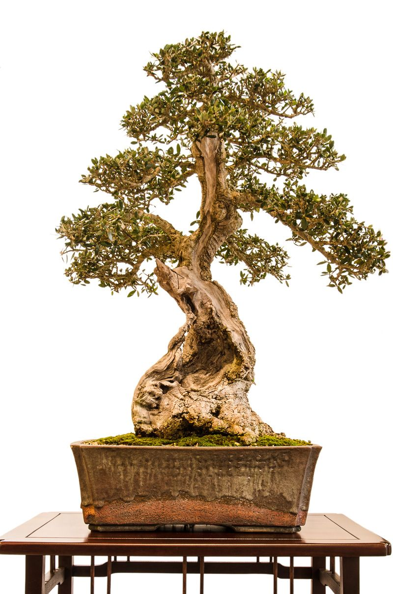olivenbaum olea europea als bonsai baum bonsai inspiration pinterest. Black Bedroom Furniture Sets. Home Design Ideas