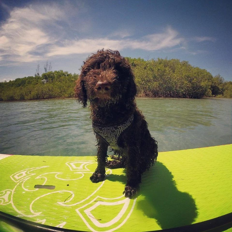 Multigen Labradoodle Puppies 2014 With Images Labradoodle Puppy Puppies Labradoodle Breeders