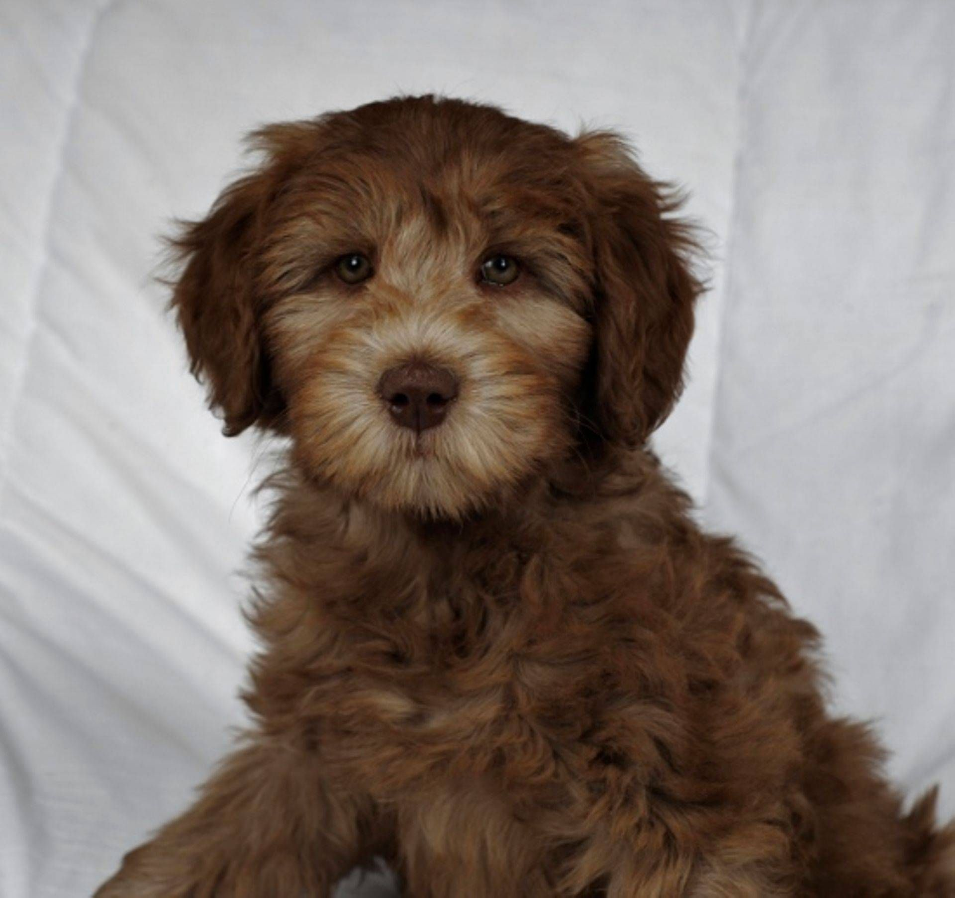 Ontario Labradoodle Breeder Specializing In Australian Labradoodles In All Sizes Parents Fully Health Test Labradoodle Labradoodle Puppy Labradoodle Breeders