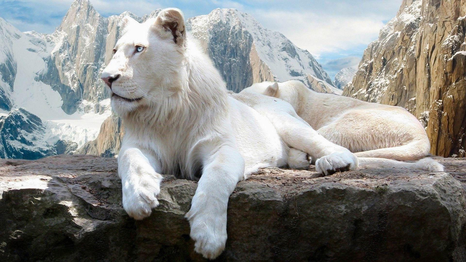 Http Www 10wallpaper Com Wallpaper 1920x1080 1301 White Lion Cute Animals Wallpaper 1920x1080 Jpg Photos De Lion Animales Animaux