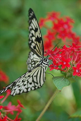 Face to face with Idea leuconae nectaring on red Pentas