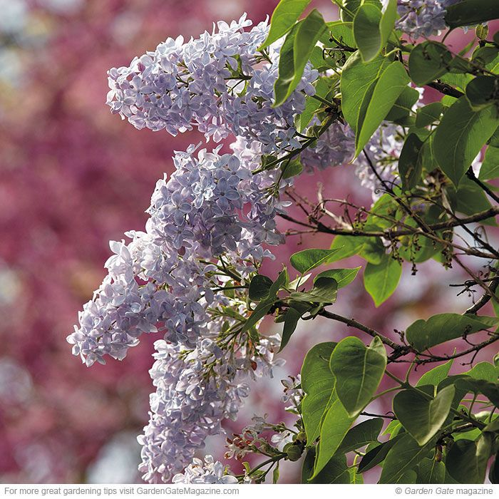 Spring fragrance | These three flowering shrubs have some of the best scents of spring! Common lilac, magnolia and Koreanspice viburnum