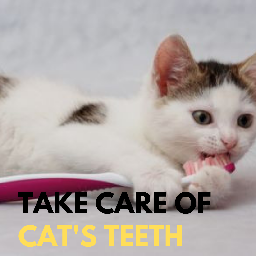 Tips for Brushing Your Cat's Teeth Cats, Dental