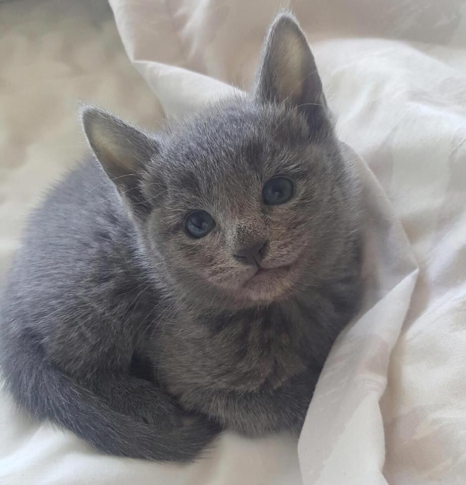 Meet Aurora 7 week old Russian Blue Aww Fun Things