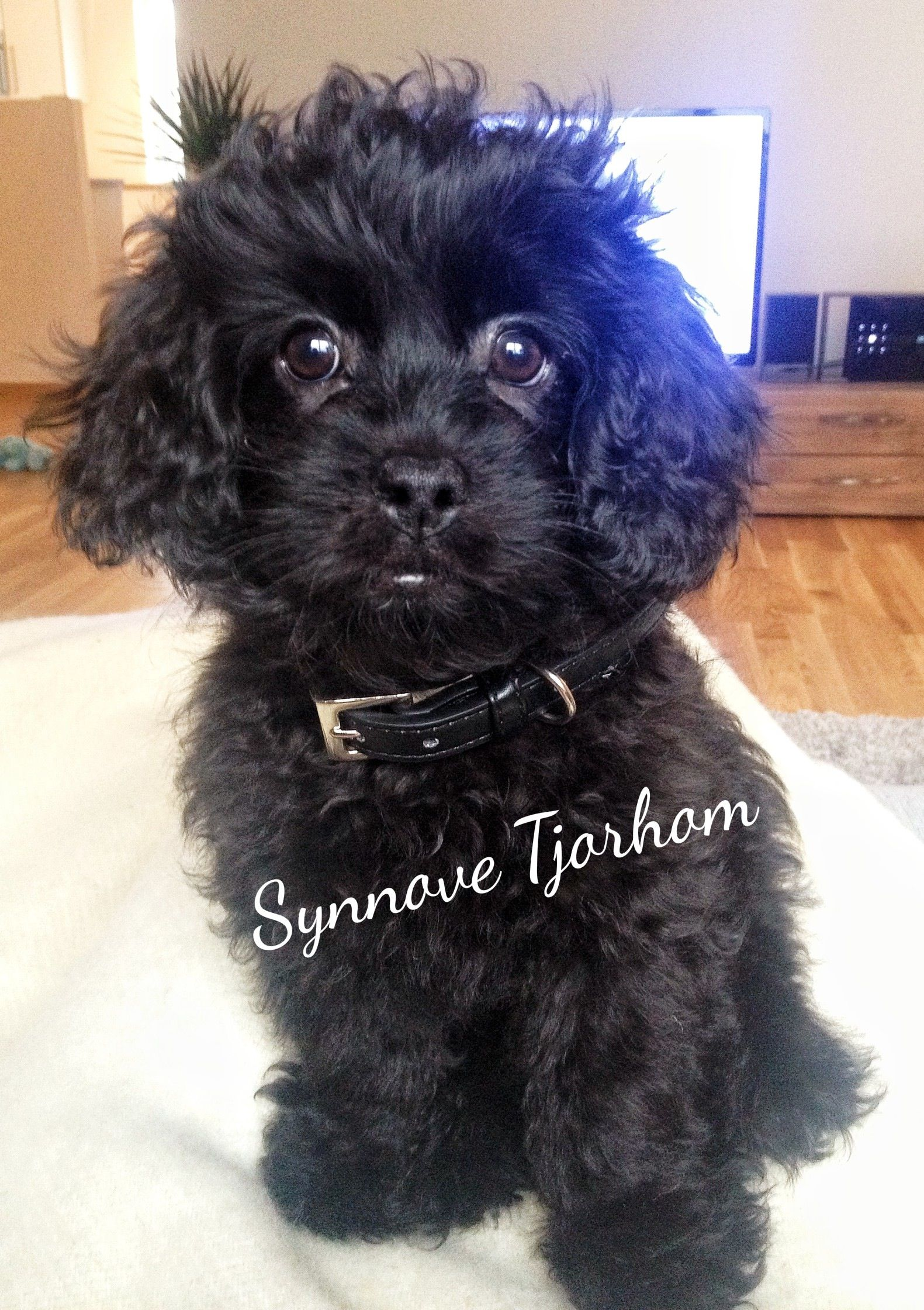Pondus Mixed Breed Between Tibetan Spaniel And Miniature Poodle
