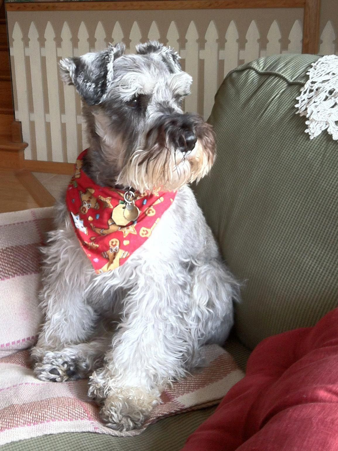 #minischnauzer #schnauzer #dog #schnauzerdogs #miniatureschnauzer