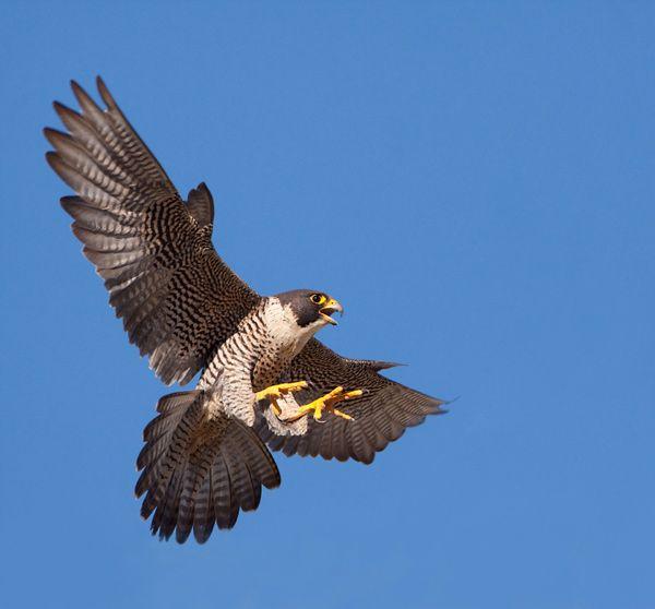 Types Of Falcon Species By Nick Askew Below Is Shown A List Of Falcon Species Peregrine Falcon Birds Of Prey Pet Birds