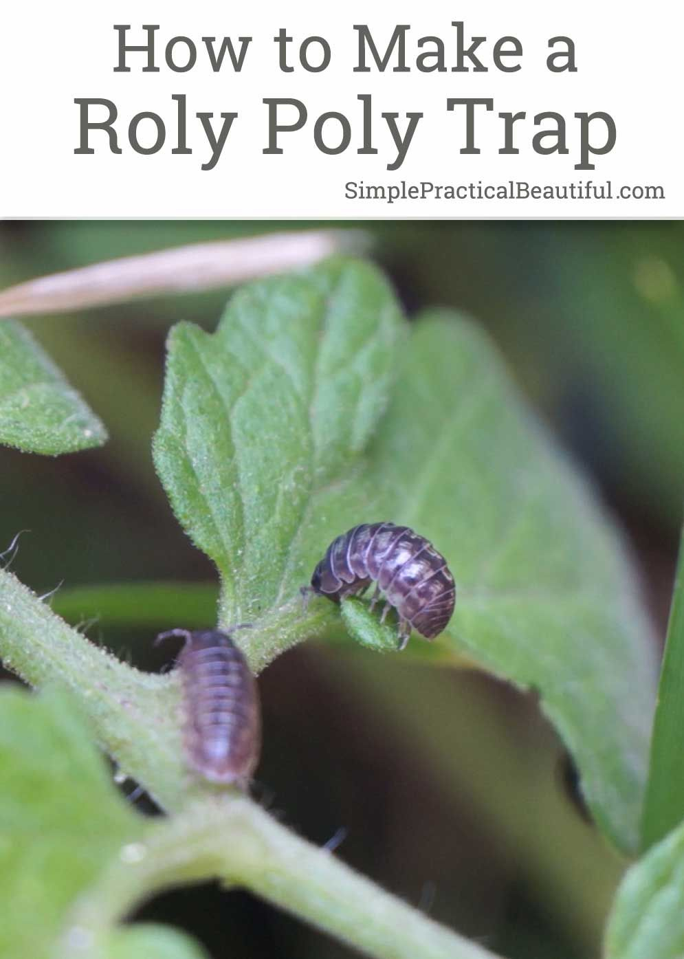 A Pill Bug Trap Made From A Potato Simple Practical Beautiful Pill Bug Garden Pests Planting Vegetables