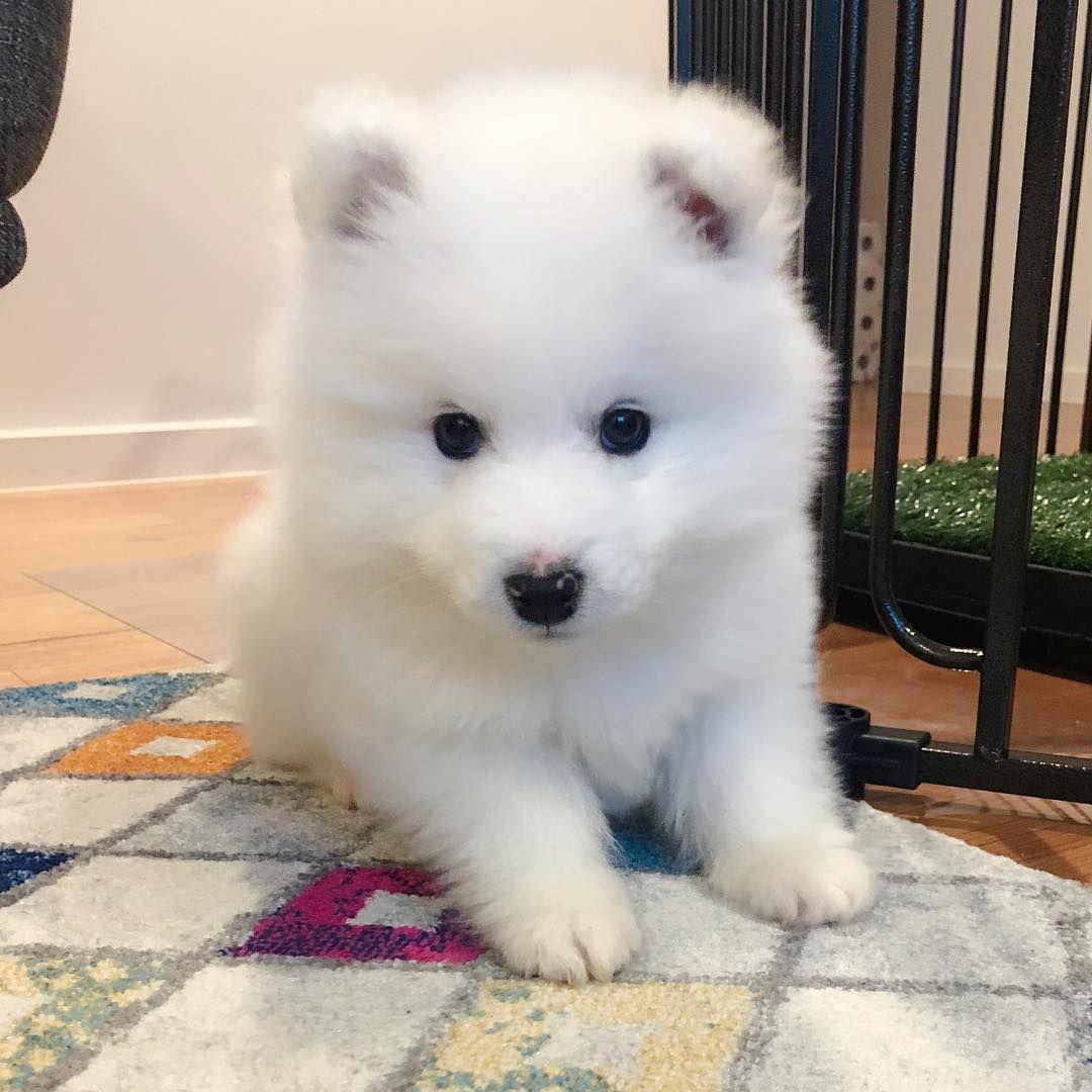 Maximus The Samoyed Happy International Puppy Day Grampic