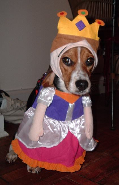 Beagle In Princess Costume With Images Dog Halloween Costumes