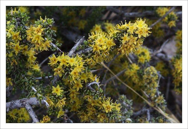 Blooming Javelina Bush