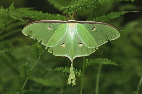 Luna Moths were once very common, but are now considered an endangered species in some areas.