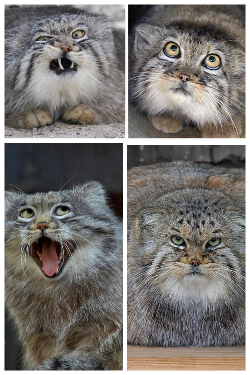 pallas cat Google Search Pallas's cat, Small wild cats