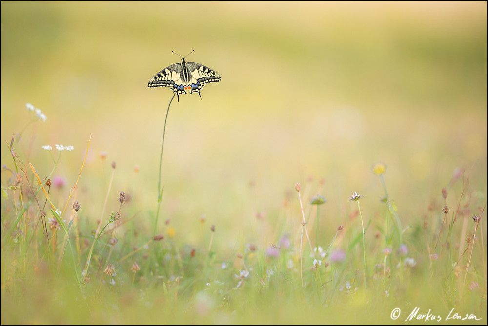 Markus Lenzen schwalbenschwanz in seinem habitat ml 05325 20170722 moth