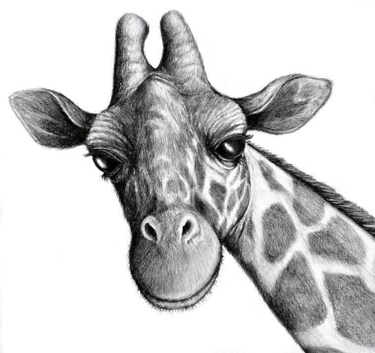 Disegni Semplici Matita Primo Piano Muso Collo Giraffa Dettagli Curati Minimi Particolari Disegni A Matita Disegni Schizzi Di Animali