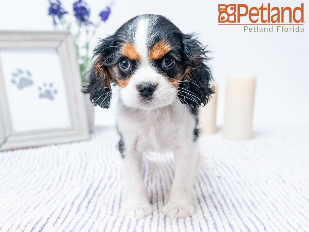 Puppies For Sale With Images Spaniel Puppies For Sale Puppy Friends King Charles Cavalier Spaniel Puppy