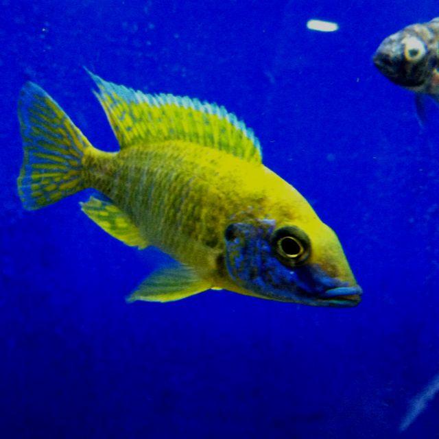 Such A Gorgeous Yellow Regal Peacock Cichlid River City Aquatics In Austin Tx Tetra Fish African Cichlids Cichlids