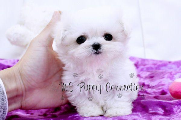 colorado pomeranian maltese yorkie puppies to see