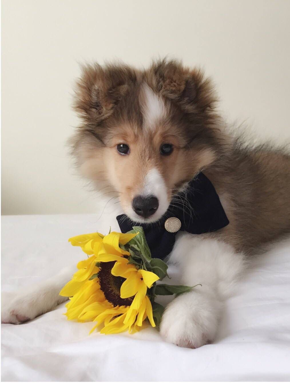 Valentine Lover Shetland Sheepdog Sheepdog Sheltie
