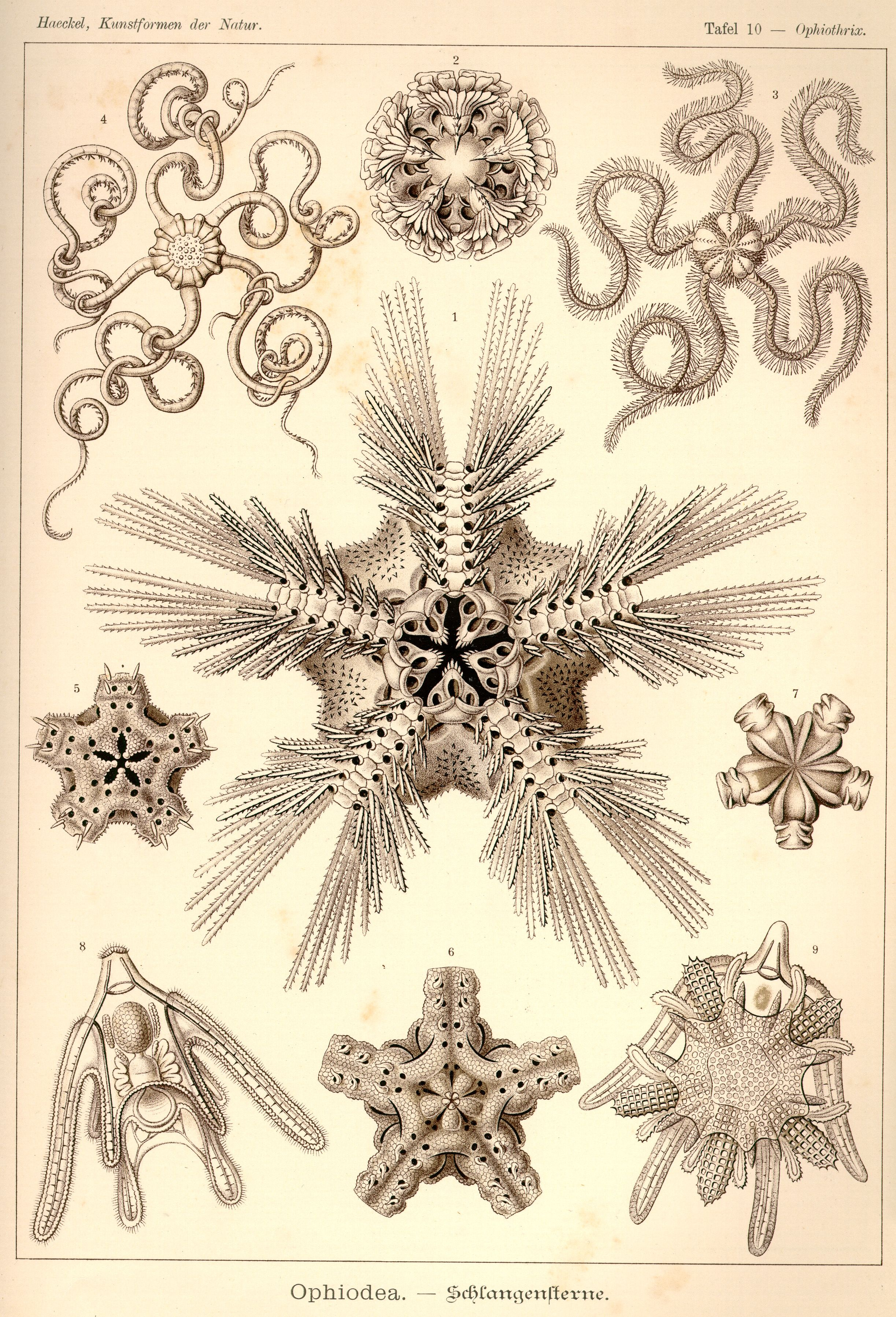 Antique Starfish Diagram N Professional Reproduction VINTAGE STARFISH PRINT