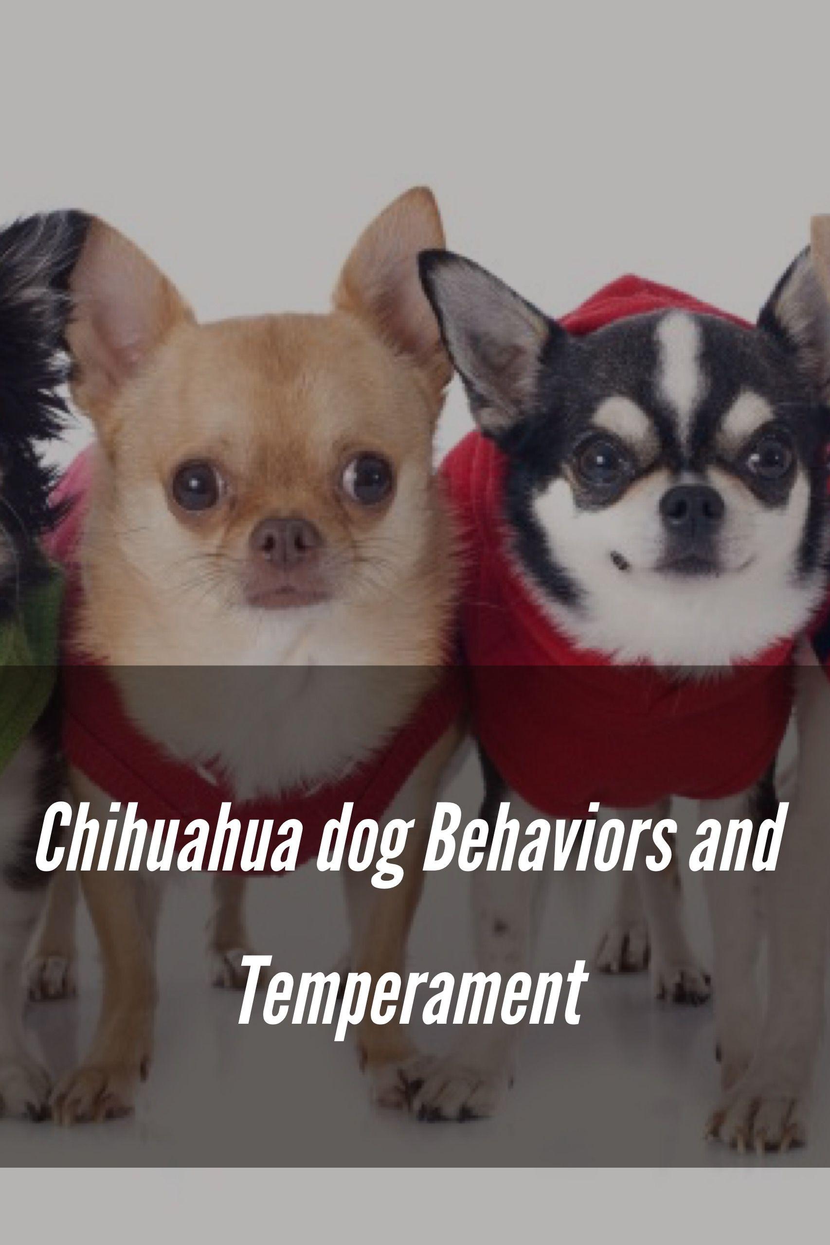Chihuahua Dog Behaviors And Temperament Dog Behavior Chihuahua