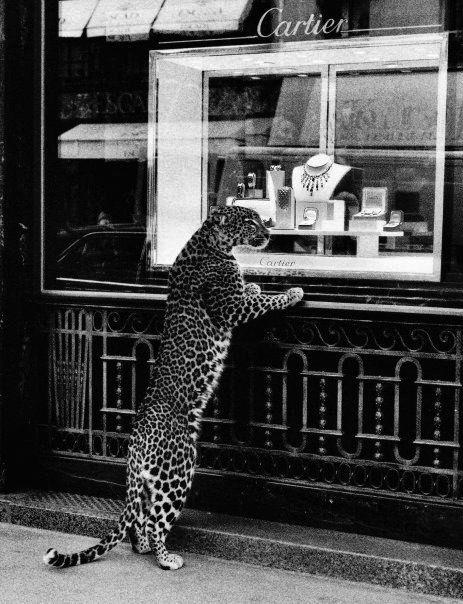 This leopard has excellent taste.