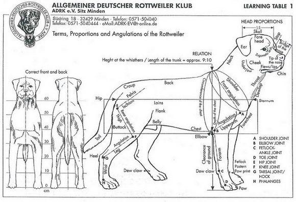 Rottie Official Standard My Rottweilers Pinterest Rottweiler