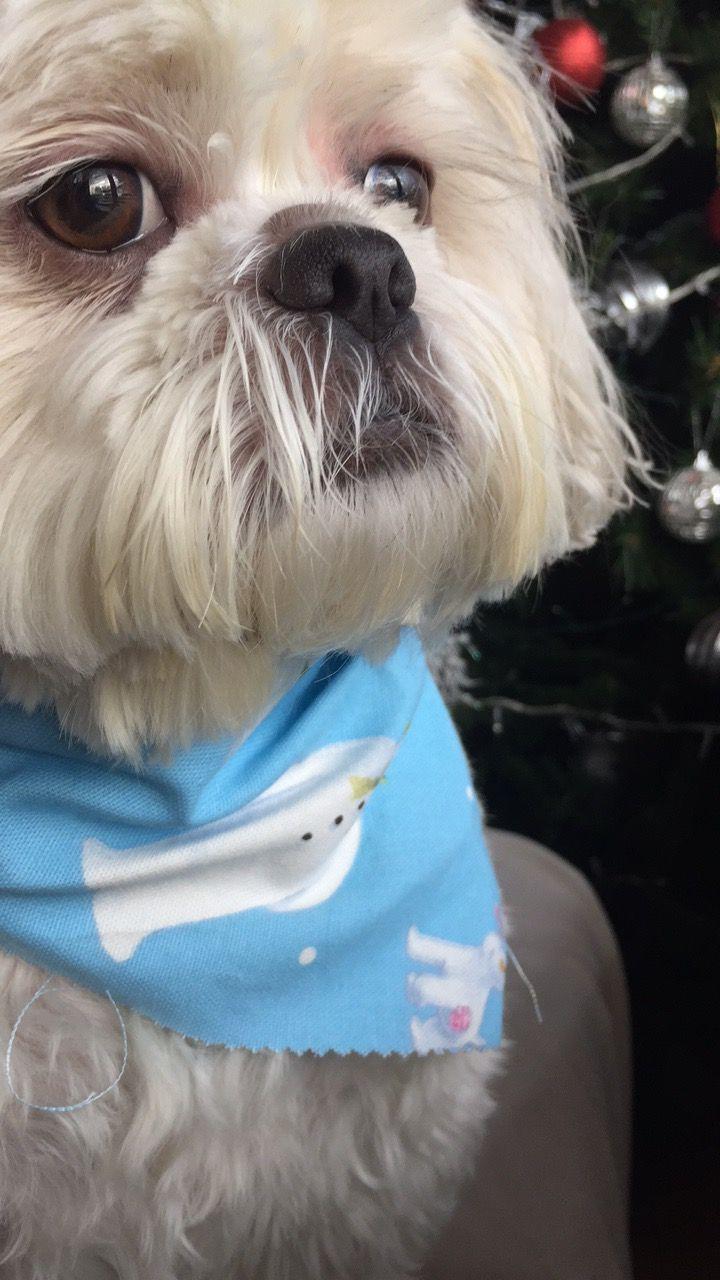 Belfast Animals Shih Tzu Dogs