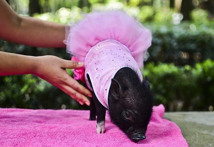 A glamorous pet pig, dressed as a ballerina (sans toe shoes—they could have done the satin ribbons up the leg? Next time. :)) By Ronaldo Schemidt