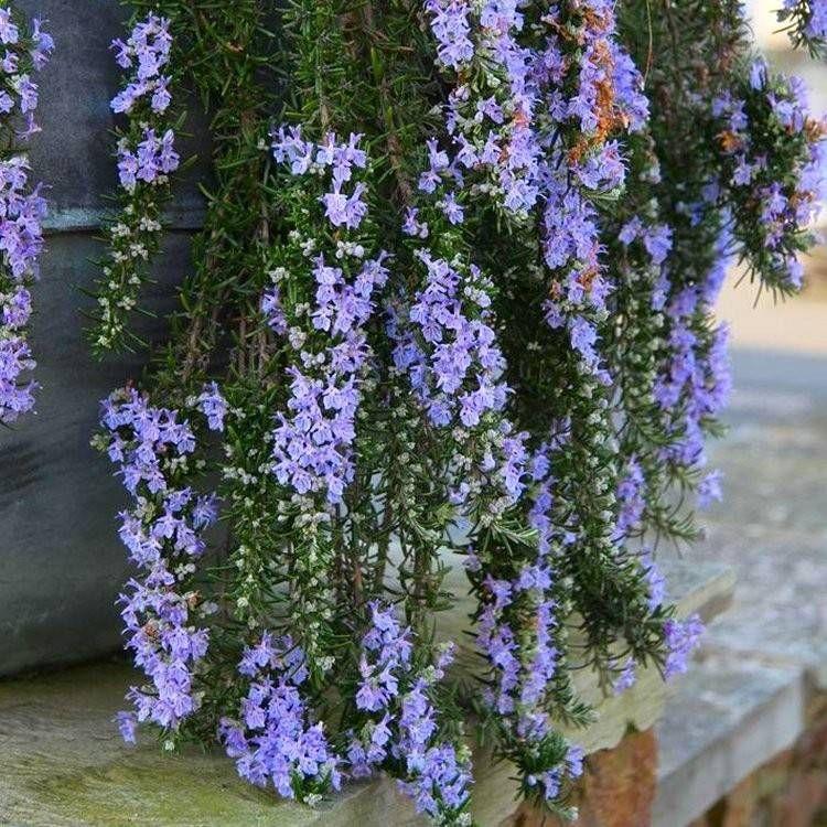 Rozmaryn Lekarski Capri Rosmarinus Officinalis Albamar In 2021 Plants Trailing Flowers Trailing Plants